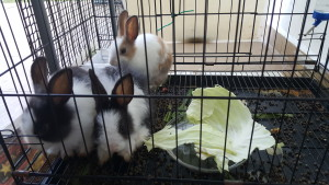 Kandang arnab menggunakan paip pvc